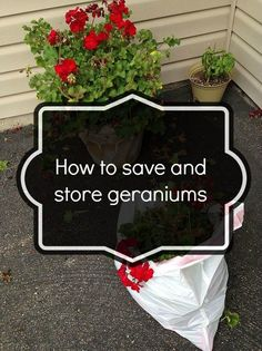 How to save and store geraniums