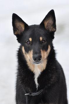 Tuhkavuorten Noidantanssi, beauty Lapponian Herder Puppy Dog