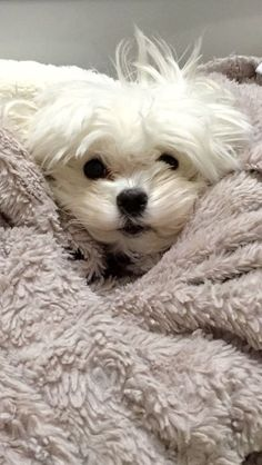 Maltese and Children: Is It a Good Combination - Champion Dogs Cute Puppies, Cute Dogs, Dogs And Puppies, Doggies, Animals And Pets, Baby Animals, Cute Animals, Kyi Leo, Maltese Dogs