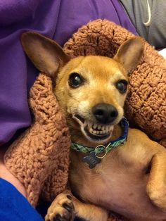 #happiest #chiweenie