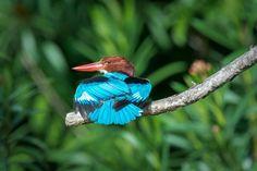 White-throated Kingfisher #bird #nature #wildlife #animal #kingfisher #blue #sataybythebay #Nikon #telephoto #photography #sunbathing