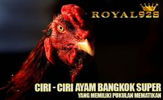 ayam bangkok super Game Fowl, Ciri, Live Casino, Bangkok