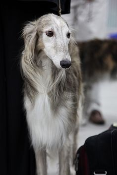 white and beige silken windhound (breed developed from borzoi and whippet ancestry: borzoi appearance and whippet size)
