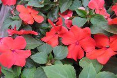 Plantas para el balcón con media sombra  Alegrías.         Foto:vía SerresFortier