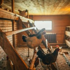 How often should you clean a chicken coop? What chores should you include? Follow our step-by-step guide on how to clean a chicken coop from top to bottom. Natural Cleaning Solutions, Natural Cleaning Products, Garden Hoe, Clean Chicken, Natural Cleaners, Nesting Boxes, Cleaning Materials, Chicken Wire, Chickens Backyard