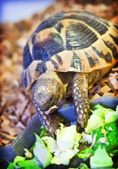 Northampton Reptile Centre is a leading authority on reptile pet care in the UK. Trust us to ensure you get the right food and supplies for your reptile Tortoise As Pets, Tortoise Habitat, Baby Tortoise, Tortoise Care, Giant Tortoise, Tortoise Turtle, Hermann Tortoise, Top Photos, Russian Tortoise