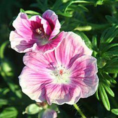 Gärtnerei Naturwuchs -- Geranium sanguineum - Blutstorchschnabel -- Geranium sanguineum 'Elke' -- Blutstorchschnabel, Sorte