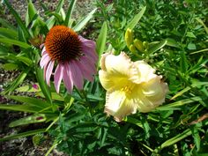 Purple Cone Flower with Daylily, Summer 2012, PGipson