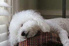 Sleepy Bischon...looks like my Alleigh, she can sleep anywhere!