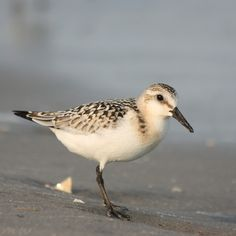 Posing Piper by FriendFrog on deviantART Sandpiper in Stone Harbor, New Jersey.