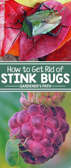 How To Get Rid Of Stink Bugs - Is your garden bugged by stink bugs? Learn how to banish these malodorous, produce-eating pests from your garden once and for all with tips and hints from the experts at Gardener's Path. Slugs In Garden, Garden Bugs, Garden Insects, Garden Pests, Herb Garden, Garden Fertilizers, Garden Club, Organic Gardening, Gardening Tips