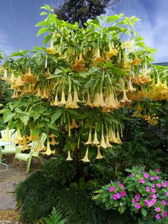 Specializing in rare and unusual annual and perennial plants, including cottage garden heirlooms and hard to find California native wildflowers. Weird Plants, Unusual Plants, Cool Plants, Southern Cottage, Angel Trumpet, Gothic Garden, Fairy Garden Houses, Ornamental Plants, House Landscape