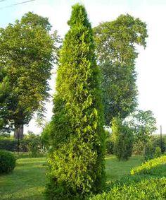 harilik elupuu Smaragd