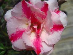 """Adenium Obesum Desert Rose""""DOUBLEPITUNIA"""""""