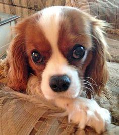 Tango the Cavalier King Charles Spaniel - just look those eyes