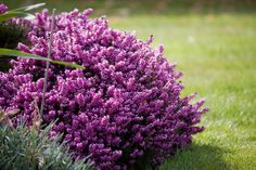 heather plants pictures | Purple Heather Flowers by Karen Arnold
