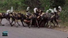 5bd7dcbfb0e 18 Best Amazing Animal Videos - Pinterest images