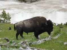 buffalo. strange photoshop, unnecessary, but still a buffalo.