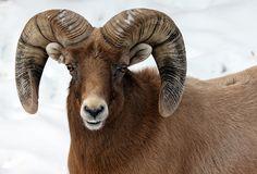 Bighorn Sheep at Rosamond Gifford Zoo, Syracuse, NY (Photo by Megan Mullin)