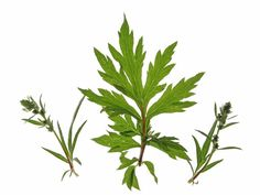 The health benefits of Mugwort Essential Oil can be attributed to its properties as an anti-epileptic, anti-hysteric, cordial, digestive, diuretic, emenagogue, nervine, stimulant, uterine, and vermifuge substance. Mugwort Essential Oil is extracted by steam distillation of leaves, buds, and flowering tops of the Mugwort tree, which has the scientific name Artemisia Vulgaris. The various components of the essential oil obtained from this plant are alpha thujone, beta thujone, cineole…