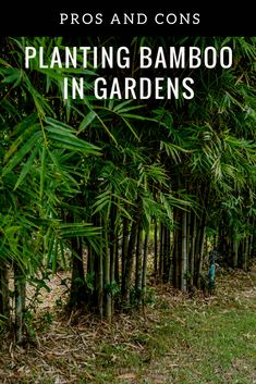 Explore The Benefits And Downsides To Growing Bamboo Best Picture For tropical garden ideas palms Fo Small Gardens, Outdoor Gardens, Chinese Bamboo Tree, Bamboo Landscape, Growing Bamboo, How To Plant Bamboo, Bamboo Species, Balinese Garden, Tropical Garden Design