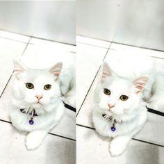 #cat #kitty #white #sugar #pet #love #kitty #kitten