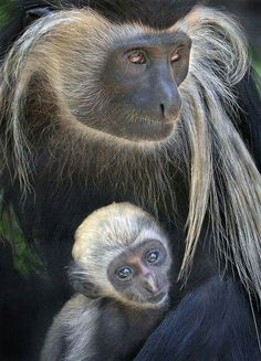 The newest addition to Monkey Trails. The Angolan Colobus Monkey Primates, Mammals, Nature Animals, Animals And Pets, Baby Animals, Cute Animals, Monkeys Animals, Strange Animals, Wild Animals