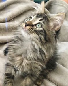 Maine Coon Kitten Haas is so loving and playful.... I am in love