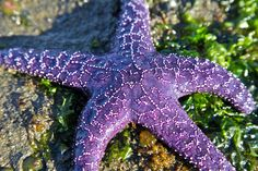 Purple Starfish   Next the artist formerly know as Prince al…   Flickr