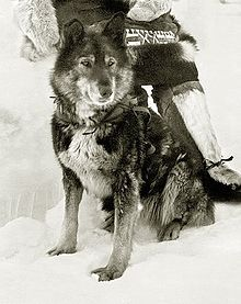 Togo, the sled dog famous for the longer, more difficult part of the 1925 serum run in Alaska