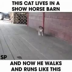 As much as I am against the method they use to make show horses walk the way they do, this cat is too cuteTap the link to check out great cat products we have for your little feline friend! Cute Funny Animals, Funny Animal Pictures, Funny Cute, Best Funny Pictures, Cute Cats, Hilarious, Funny Pics, Funniest Animals, Crazy Cat Lady
