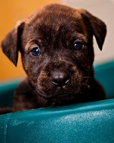 brown brindle bull mastiff puppy. Looks like Argos when he was a little squirrel.