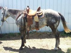 Stout Gray Ranch Gelding for Sale - For more information click on the image or see ad # 33501 on www.RanchWorldAds.com
