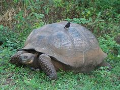 The Giant Tortoises the Galapagos are so famous for were nearly extinct due to goats eating all the vegetation on the islands.
