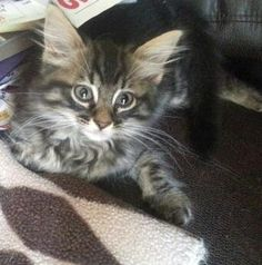 Meet Jewels, a Petfinder adoptable Siberian Cat | Marietta, GA | UPDATE 9/2/15 ... Ruby is available (the kitten in all pictures above). She is now about 10 weeks...