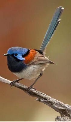 Maluro pechiazul - Blue-breasted Fairywren - Blaubrust-Staffelschwanz - Mérion à gorge bleue