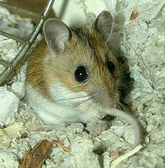 House mouse as a model organism