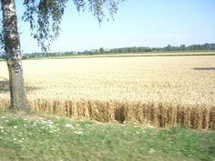 Das Getreide