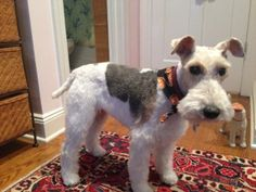 Adopt Zipper on | Wire fox terriers, Fox terriers and Terrier