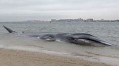 An emaciated 60-foot finback whale beached itself in the Breezy Point neighborhood of the Rockaways in New York, Dec. 26, 2012. Biologist Mendy Garron says it's unclear what caused the whale to beach itself, but its chances of survival appear slim.