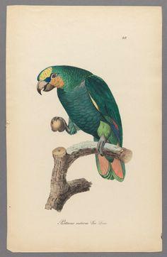 Parrots - Monographie der Papageien oder, Vollstandige Naturgeschichte aller bis jetzt bekannten Papageien mit getreuen und ausgemalten Abbildungen / im Vereine mit andern Naturforschern herausgegeben von Chr. L. Brehm. 1842-1855..