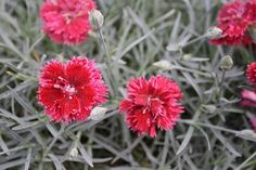 Dianthus Fruit Punch Pomegranate Punch (avail 2013)