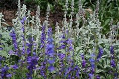 Lamb's ear and Rocky Mountain blue penstemon, photo by Chris Eirschele
