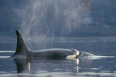 This is what orcas should be doing. This is their true nature. I pray one day all humans will see that.