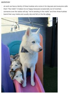 Dogs funny puppies kittens New ideas Funny Animal Memes, Cute Funny Animals, Cute Baby Animals, Funny Cute, Funny Dogs, Animals And Pets, Hilarious, Funny Husky, Husky Humor