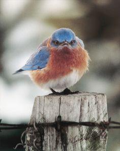 Angry Bluebird   magnet mad bluebird 10 pack