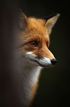 "Photograph by Kai Fagerström: Vuoden Luontokuva | Nature Photograph of the year 2011 in Finland, ""Kettu"" (Fox),"