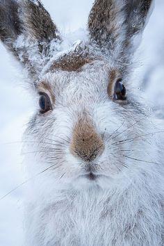 mountain hare by (Susanna Chan)