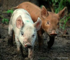 How to Raise Pigs Naturally on a Small Farm - Timber Creek Farm Raising Farm Animals, Animals And Pets, Farm Photography, Animal Photography, Bird Pictures, Animal Pictures, Native American Horses, Pig Farming, Backyard Farming
