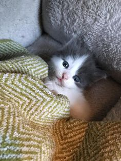 A little motherless kitten fell asleep cuddling with her human after they saved her from an uncertain fate. Supplied by Bridget and Sarah On June 12, a kind woman and her daughter spotted a tiny kitten wandering on her own in need of help. They waited for the cat mother to come back,...